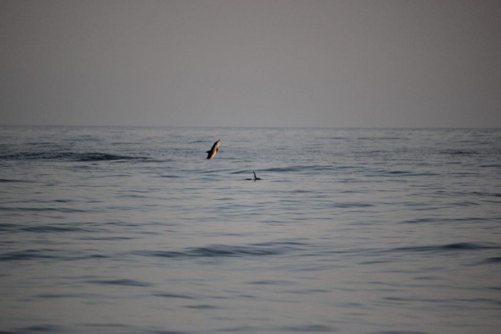 Delfine-im-Mittelmeer-Sardinien